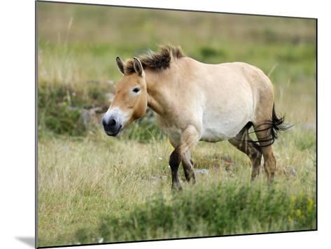 Semi Wild Przewalski Horse Stallion, Parc Du Villaret, Causse Mejean, Lozere, France-Eric Baccega-Mounted Photographic Print