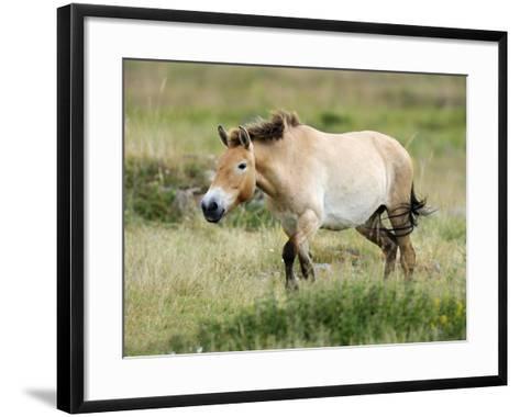 Semi Wild Przewalski Horse Stallion, Parc Du Villaret, Causse Mejean, Lozere, France-Eric Baccega-Framed Art Print