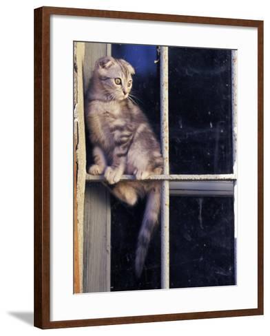 Scottish Fold Cat Balanced on Window Bar, Italy-Adriano Bacchella-Framed Art Print