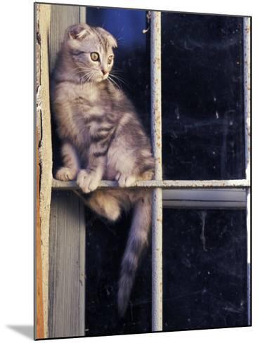 Scottish Fold Cat Balanced on Window Bar, Italy-Adriano Bacchella-Mounted Photographic Print