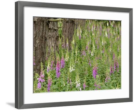 Foxgloves Flowering in Coastal Woodland, Norfolk, UK-Gary Smith-Framed Art Print