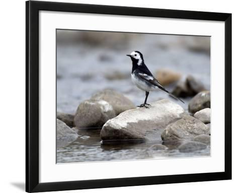 Pied Wagtail Male Perched on Rock in Stream, Upper Teesdale, Co Durham, England, UK-Andy Sands-Framed Art Print