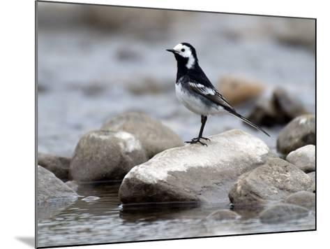 Pied Wagtail Male Perched on Rock in Stream, Upper Teesdale, Co Durham, England, UK-Andy Sands-Mounted Photographic Print