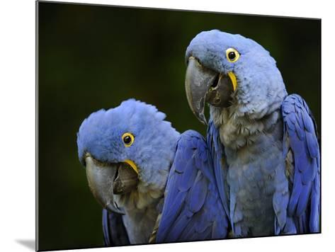 Hyacinth Macaw Pair, from South America, Endangered-Eric Baccega-Mounted Photographic Print