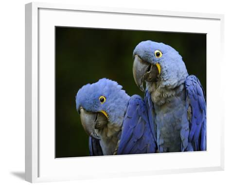 Hyacinth Macaw Pair, from South America, Endangered-Eric Baccega-Framed Art Print