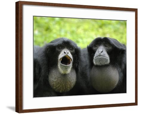 Two Siamang Gibbons Calling, Vocal Pouches Inflated, Endangered, from Se Asia-Eric Baccega-Framed Art Print