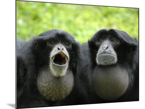 Two Siamang Gibbons Calling, Vocal Pouches Inflated, Endangered, from Se Asia-Eric Baccega-Mounted Photographic Print