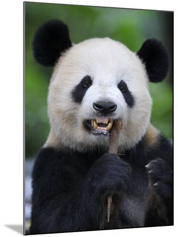Giant Panda Feeding on Bamboo at Bifengxia Giant Panda Breeding and Conservation Center, China-Eric Baccega-Mounted Photographic Print