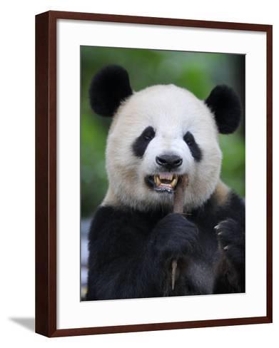 Giant Panda Feeding on Bamboo at Bifengxia Giant Panda Breeding and Conservation Center, China-Eric Baccega-Framed Art Print