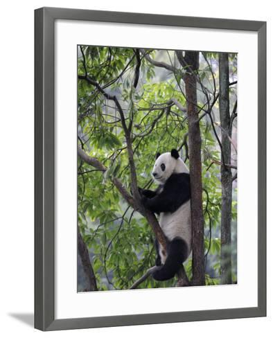Giant Panda Climbing in a Tree Bifengxia Giant Panda Breeding and Conservation Center, China-Eric Baccega-Framed Art Print