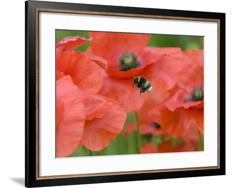 Bumble Bee Flying to Poppy Flower to Gather Pollen, Hertfordshire, England, UK-Andy Sands-Framed Art Print