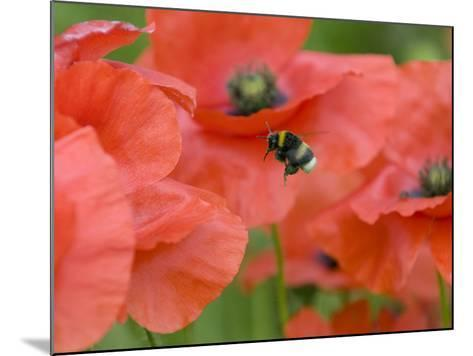 Bumble Bee Flying to Poppy Flower to Gather Pollen, Hertfordshire, England, UK-Andy Sands-Mounted Photographic Print
