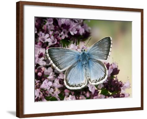 Chalkhill Blue Butterfly Male Feeding on Flowers of Marjoram, UK-Andy Sands-Framed Art Print