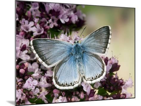 Chalkhill Blue Butterfly Male Feeding on Flowers of Marjoram, UK-Andy Sands-Mounted Photographic Print