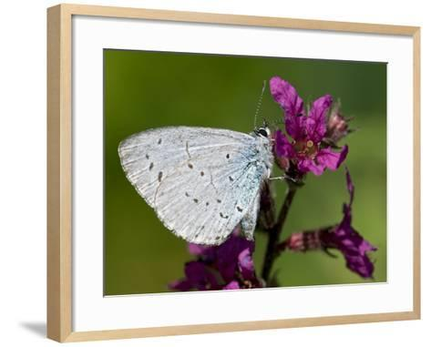 Holly Blue Butterfly Wings Closed, Feeding on Purple Loosestrife, West Sussex, England, UK-Andy Sands-Framed Art Print