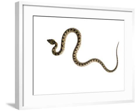 Juvenile Ladder Snake Alicante, Spain-Niall Benvie-Framed Art Print