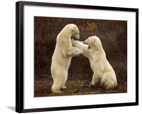 Two Polar Bears Play Fighting, Churchill, Hudson Bay, Canada-Inaki Relanzon-Framed Art Print