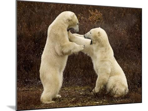 Two Polar Bears Play Fighting, Churchill, Hudson Bay, Canada-Inaki Relanzon-Mounted Photographic Print
