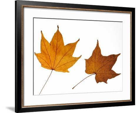 Painted Maple Leaves in Autumn Colours, Native to Korea, Japan, Manchuria, Usa and Canada-Philippe Clement-Framed Art Print