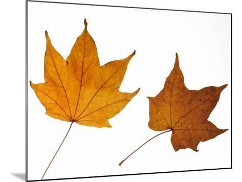 Painted Maple Leaves in Autumn Colours, Native to Korea, Japan, Manchuria, Usa and Canada-Philippe Clement-Mounted Photographic Print