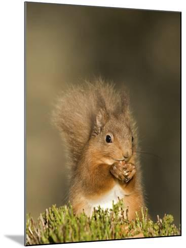 Red Squirrel Feeding, Cairngorms, Scotland, UK-Andy Sands-Mounted Photographic Print