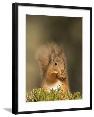 Red Squirrel Feeding, Cairngorms, Scotland, UK-Andy Sands-Framed Art Print