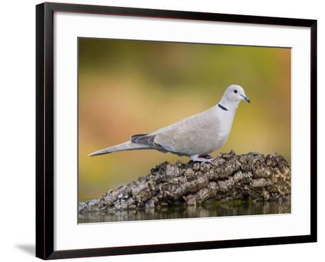 Collared Dove at Water's Edge, Alicante, Spain-Niall Benvie-Framed Art Print
