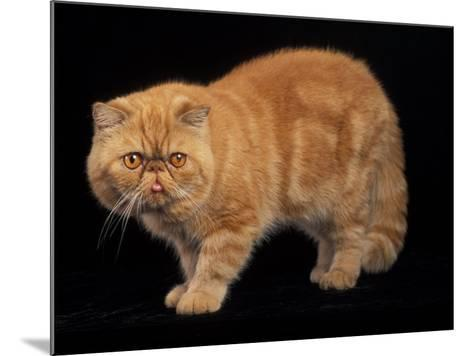 Exotic Red Cat, Portrait-Adriano Bacchella-Mounted Photographic Print