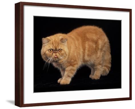 Exotic Red Cat, Portrait-Adriano Bacchella-Framed Art Print