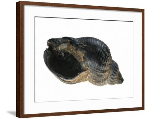 Common Whelk from the North Sea, Shell Showing Aperture, Belgium-Philippe Clement-Framed Art Print