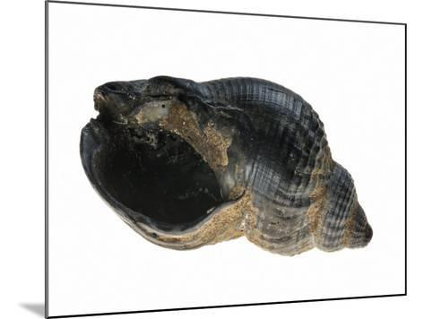 Common Whelk from the North Sea, Shell Showing Aperture, Belgium-Philippe Clement-Mounted Photographic Print