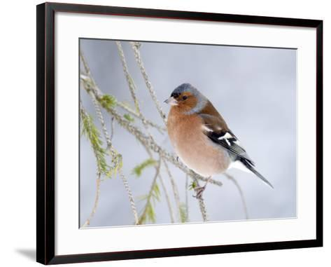 Chaffinch Perched in Pine Tree, Scotland, UK-Andy Sands-Framed Art Print
