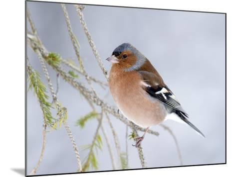 Chaffinch Perched in Pine Tree, Scotland, UK-Andy Sands-Mounted Photographic Print