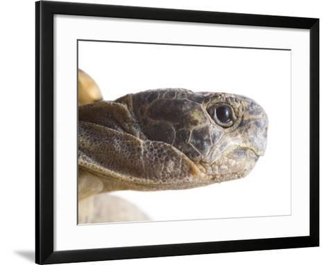 Greek Spur Thighed Tortoise Head Portrait, Spain-Niall Benvie-Framed Art Print