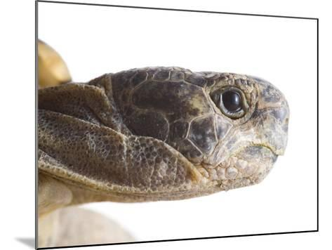 Greek Spur Thighed Tortoise Head Portrait, Spain-Niall Benvie-Mounted Photographic Print