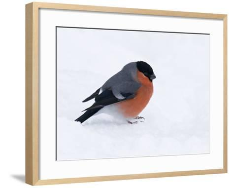 Bullfinch Male in Snow, Scotland, UK-Andy Sands-Framed Art Print