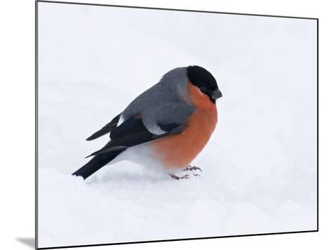 Bullfinch Male in Snow, Scotland, UK-Andy Sands-Mounted Photographic Print