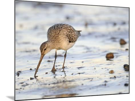 Black Tailed Godwit Feeding in Mud on Tidal Channel, Norfolk, UK, December-Gary Smith-Mounted Photographic Print
