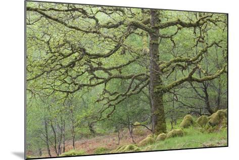 Sessile Oak Tree (Quercus Petraea) in Spring, Sunart Oakwoods, Ardnamurchan, Highland, Scotland, UK-Peter Cairns-Mounted Photographic Print