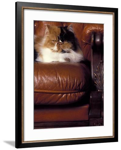 Black, White and Cream Mackerel Tabby Persian Cat Resting in Armchair-Adriano Bacchella-Framed Art Print