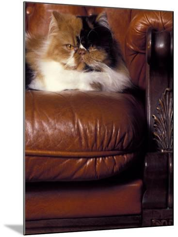 Black, White and Cream Mackerel Tabby Persian Cat Resting in Armchair-Adriano Bacchella-Mounted Photographic Print