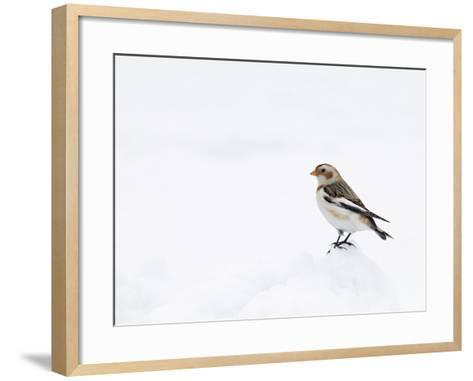 Snow Bunting in Snow, Cairngorms, Scotland, UK-Andy Sands-Framed Art Print