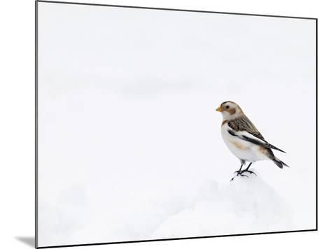 Snow Bunting in Snow, Cairngorms, Scotland, UK-Andy Sands-Mounted Photographic Print