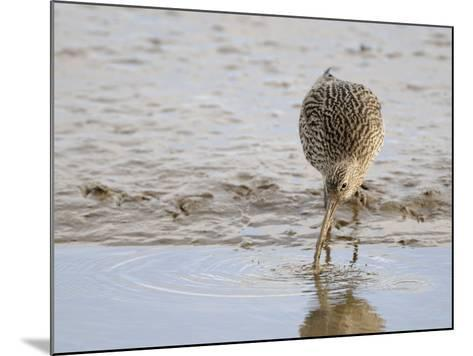 Curlew Washing Worm in Water, Norfolk UK-Gary Smith-Mounted Photographic Print
