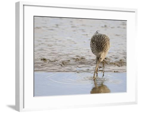 Curlew Washing Worm in Water, Norfolk UK-Gary Smith-Framed Art Print