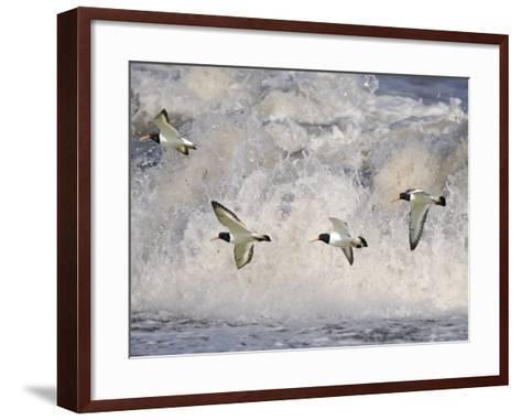 Oystercatchers in Flight over Breaking Surf, Norfolk, UK, December-Gary Smith-Framed Art Print
