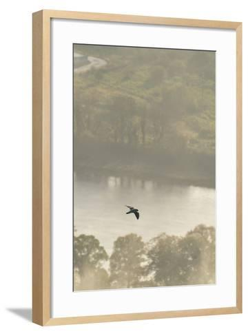 Peregrine Falcon (Falco Peregrinus) in Flight over the River Tay, Perthshire, Scotland, UK-Fergus Gill-Framed Art Print