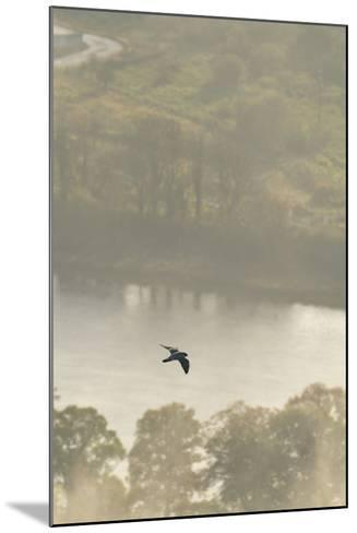Peregrine Falcon (Falco Peregrinus) in Flight over the River Tay, Perthshire, Scotland, UK-Fergus Gill-Mounted Photographic Print