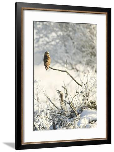 Short-Eared Owl (Asio Flammeus) Perched on a Branch, Worlaby Carr, Lincolnshire, England, UK-Danny Green-Framed Art Print