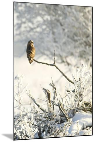 Short-Eared Owl (Asio Flammeus) Perched on a Branch, Worlaby Carr, Lincolnshire, England, UK-Danny Green-Mounted Photographic Print